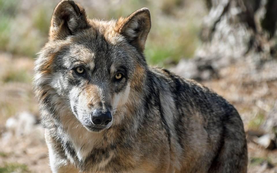 Wolf Am Niederrhein